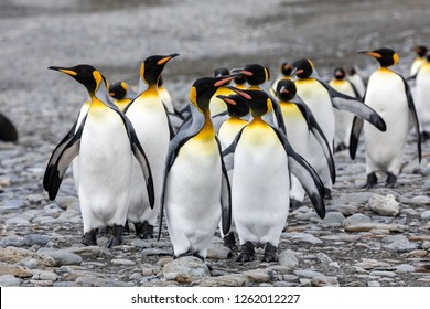 A group of king penguins runs over the pebble beach on Fortuna Bay, South Georgia, Antarctica