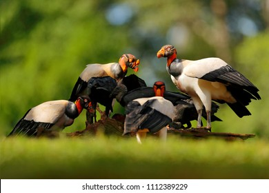 Group of King vulture, Costa Rica, large bird found in South America. Wildlife scene from tropic nature. Condor with red head feeding cow carcass, animal behaviour.