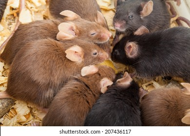 Group of laboratory mouses eating cheese. Top view photo