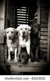 Group of Labradors