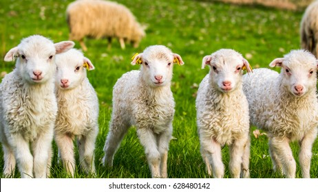 group of lambs, little cheep