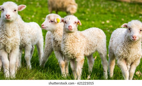 group of lambs, little cheeps