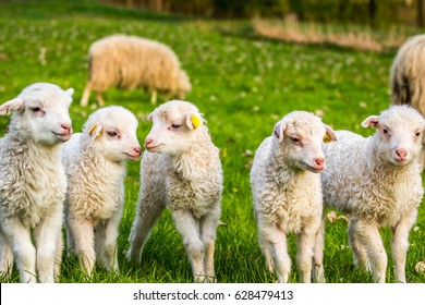 group of lambs, little sheep