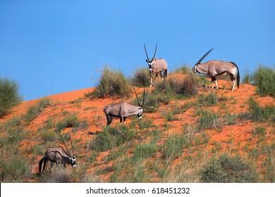 Group of large antelopes with spectacular horns, Gemsbok, Oryx gazella, on the red dune against blue sky.  Wildlife photography, Kalahari desert, South Africa.