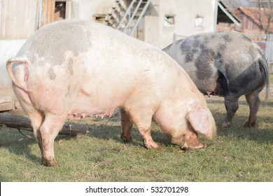 Group of large swine eating outside on ranch. Village scene with pig. Big domestic animal. Swine head close photo. Rural countryside animal image