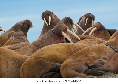 Group of large walrus on the beach in Lagoya, Svalbard, Norway.