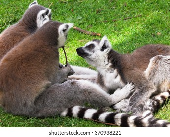 A group of lemurs in a moment of relaxation