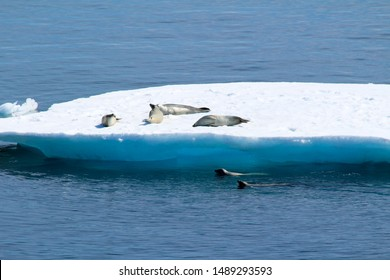A group of leopard seals warm themselves in the sun on an iceberg in front of the Antarctic Peninsula, Antarctica