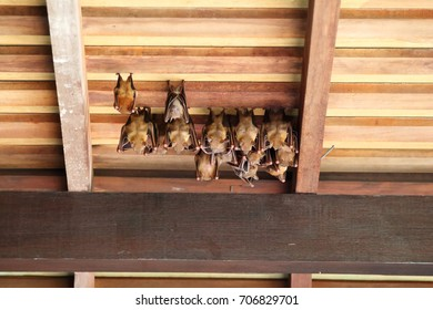 Group of Lesser Dog-Faced fruit bats hanging on a roof during day time in Singapore