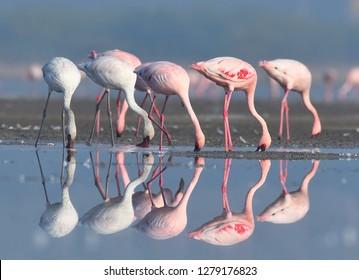 Group of Lesser flamingos at Wild ass sanctuary, Gujarat, India