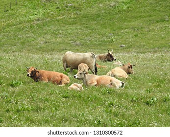 Group of light-brown cows resting in lush green pasture along the Way of St James (Saint-Jacques) in Aubrac. French breed of domestic beef (Aubrac cattle) in pilgrimage route to Santiago de Compostela