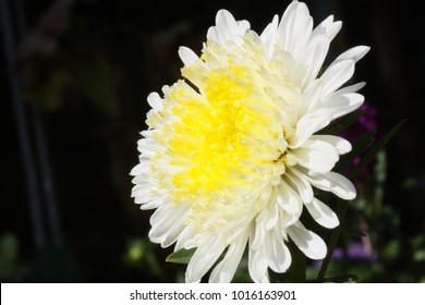 Group of lila Astra flowers. Photo texture, nature background