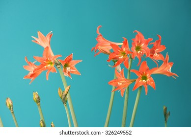 A group of lilium flowers in bloom over a blue background