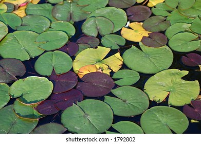 A group of lily pads on a lake