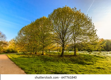Group of lime trees in the light of sunrise on the crossing of hiking trails in nature reserve Zegersloot, Alphen aan den Rijn