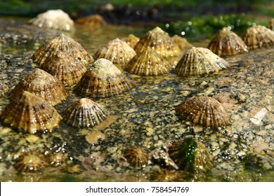 Group of limpets on a rock