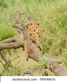 a group of lion cubs hanging out in a tree