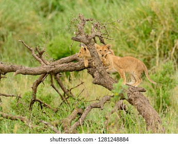"group of a  Lion cubs (scientific name: Panthera leo, or ""Simba"" in Swaheli)  in the Serengeti, Tanzania"