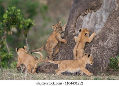 A group of lion cubs trying to climb a tree in Masai Mara Game Reserve, Kenya