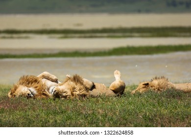 Group of lions in the grass relaxing in National Park