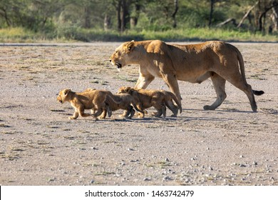A group lion's kittens (cub of lion)  and lioness (female of lion) are moving on savana's road. It is a good illustration on soft light which shows wild life and natural habitat.