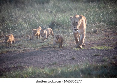 A group lion's kittens (cubs of lion) and lioness (female of lion) are moving on savana. It is a good illustration on soft light which shows wild life and natural habitat.