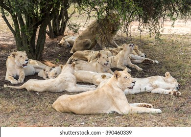 Group of lions, male / female / kids under the shade of the tree