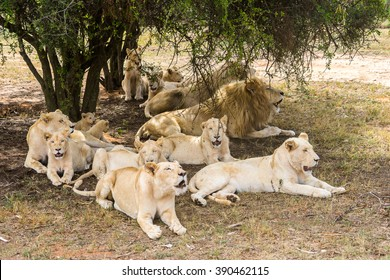 Group of lions, under the shade of the tree