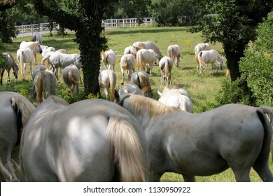 Group of Lipizzaner white horses on a meadow grassing in Lipica, Slovenia