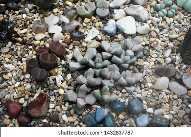 Group of Lithops. Lithops is a genus of succulent plants in the ice plant family Lithops are popular novelty house plants and many specialist succulent growers maintain collections.