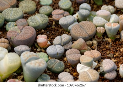 Group of lithops, a kind of desert plant