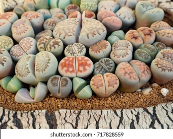 group of lithops succulent, These small, split succulents are native to the deserts of South Africa but they are commonly sold in garden centers and nurseries. Lithops thrive in compacted