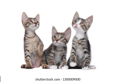 A group of little tabby kittens isolated on white