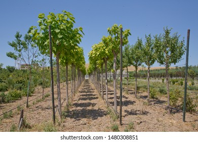 Group of little trees growing in garden . Young birches in a city park on spring . Line of plum trees in beautiful orchard . Beautiful orchard in a row at both sides. Orchard of young trees