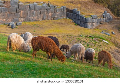 A group of llamas and alpacas grazing on tender green grass in the archaeological inca ruin of Sacsayhuaman in the city of Cusco, Peru