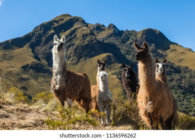A group of llamas in their corral in the middle of the mountain, Pasochoa, Ecuador