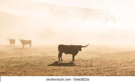 A group of longhorn cattle standing on a field in fog during sunrise