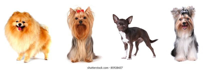 Group of luxury lap dogs isolated on white: pomeranian spitz, yorkshire terrier, chihuahua and biver yorkshire terrier.