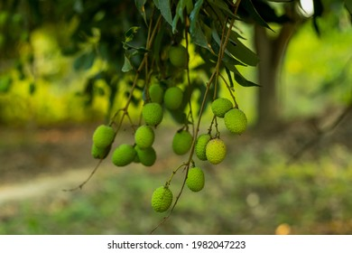The group of lychee or Litchi chinensis Sonn belongs to the family Sapindaceae and sub-family Nepheleae. The green raw litchi fruits are round, oval, or heart-shaped - Shutterstock ID 1982047223