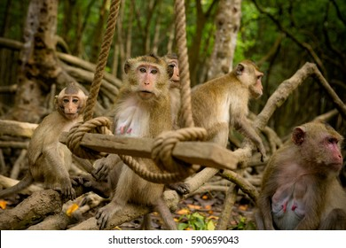 Group of macaque monkeys on rope swing