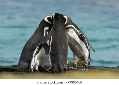 Group of Magellanic penguins gather together on the rocky coast of Falkland islands.