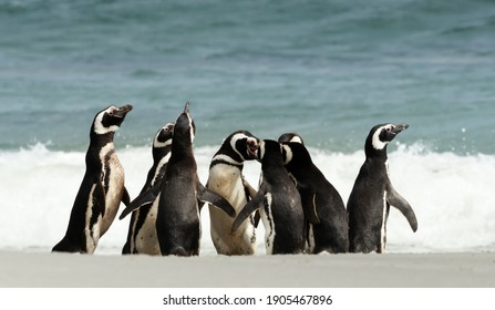 Group of Magellanic Penguins gathered on a sandy beach on a sunny summer day in the Falkland Islands.