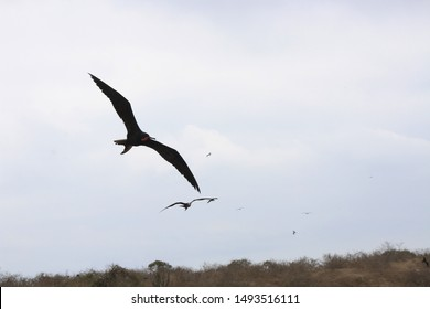 A group of magnificent frigate bird,Fregata magnificens,soaring through the sky