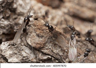 Group of male ants with wings, ready to find new females, or queens