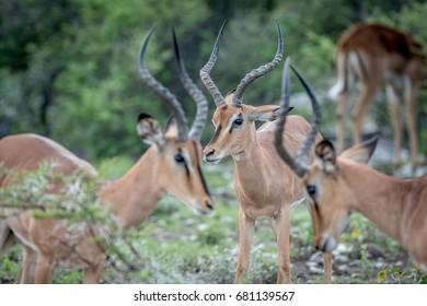 Group of male Black-faced impalas in the Etosha National Park, Namibia.