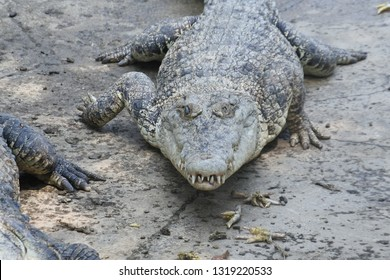 group of malignant crocodiles
