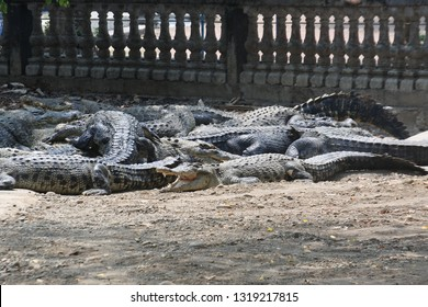 a group of malignant crocodiles in crocodile captivity in Bekasi, West Java, Indonesia, September 28, 2018