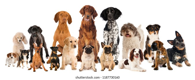 Group of many breed dogs isolated on white background