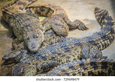 Group of many crocodiles are basking in the concrete pond. Crocodile farming for breeding and raising of crocodilians in order to produce crocodile and alligator meat, leather, and other goods.