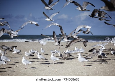 Group of many Seagulls at Empty Beach in Normandy in Autumn